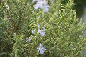 Planta de alecrim em plena primavera com flor poster