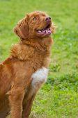 Rare breed of dog - Nova Scotia Duck Tolling Retriever. poster
