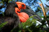 Southern ground horn  bill is hiding on the tree poster