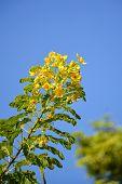Flower of Scrambled Egg Tree - Senna surattensis Burm poster