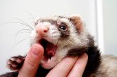 Ferret bitting owners finger 3 years old poster