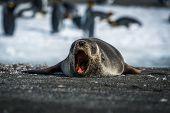 Antarctic fur seal yawns on sandy beach poster