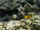 lonely yellow fish on white coral background poster