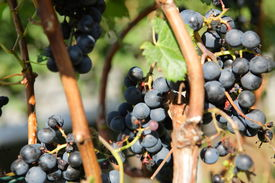 Grapevines in vineyard