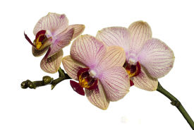 Phalaenopsis Orchid Isolated On White