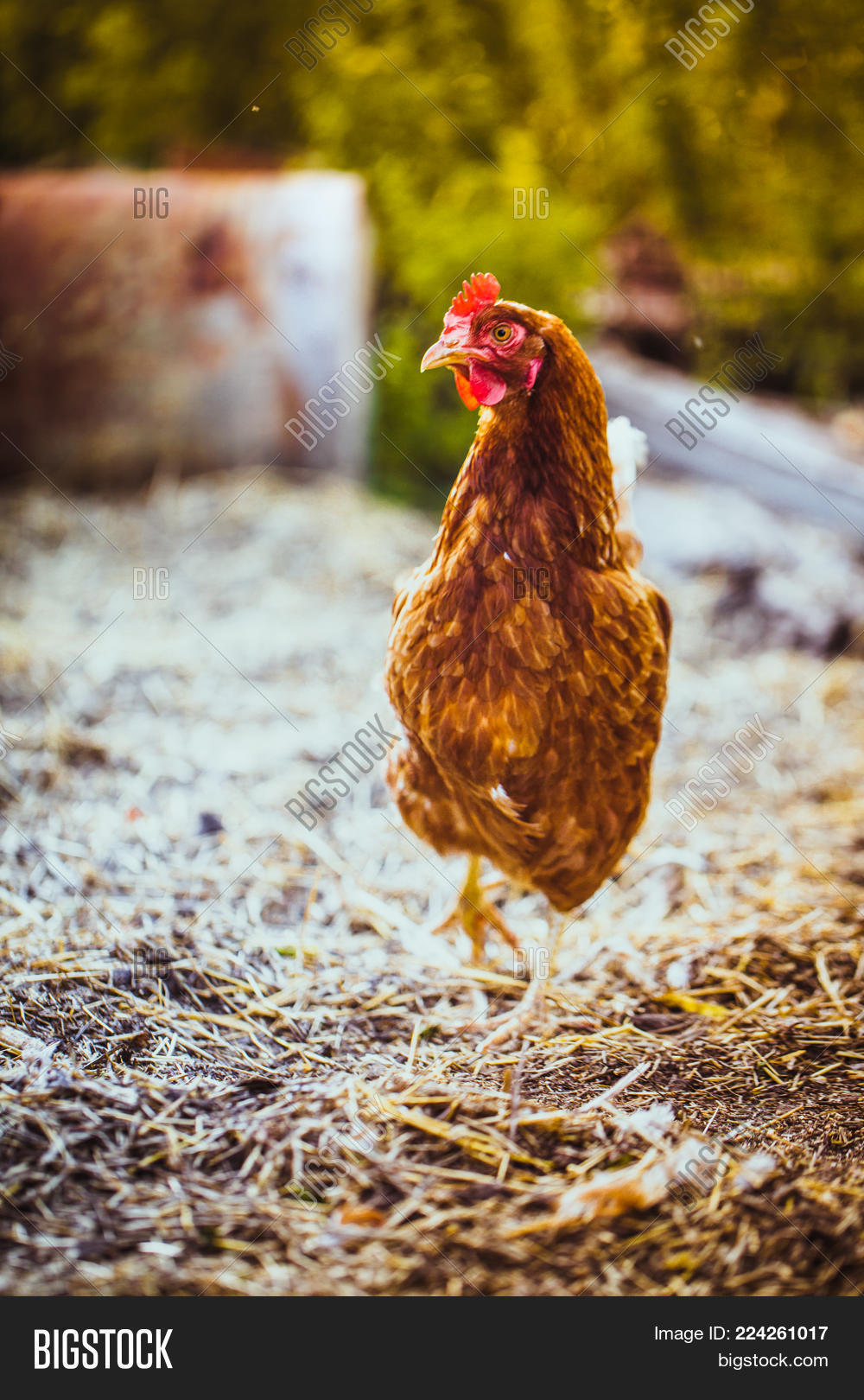 chickens running on image photo free trial bigstock