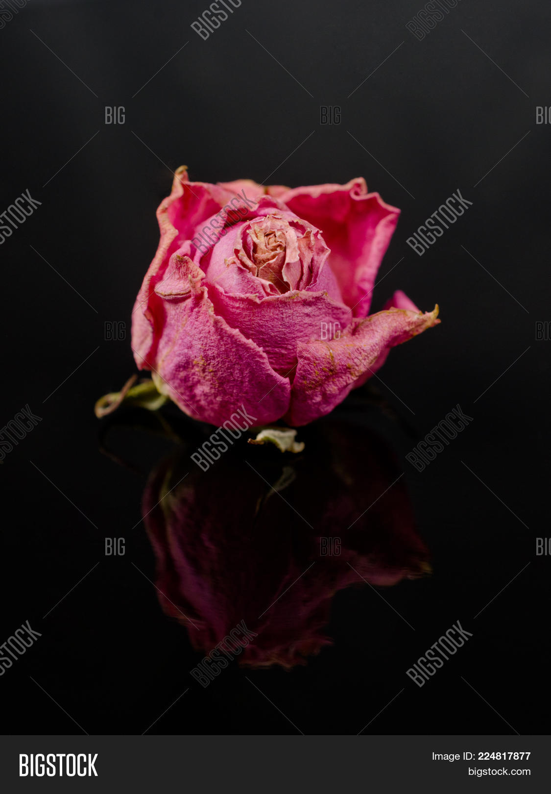 Bud beautiful pink image photo free trial bigstock bud of a beautiful pink faded dry rose on a black background with a reflection izmirmasajfo