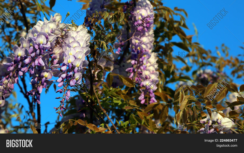 Wisteria tree white image photo free trial bigstock wisteria tree with white and purple flowers in a garden mightylinksfo