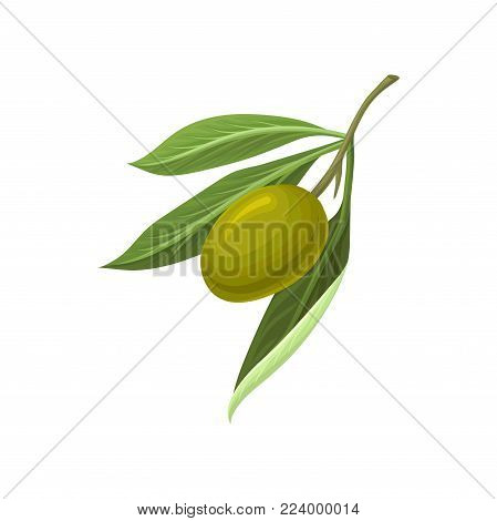Ripe green olive with leaves vector Illustration on a white background
