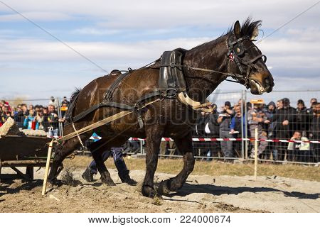 Horses and their owners participate in a heavy pull tournament. The animals has to pull a load of hundreds of kilograms on a 30 m. track.
