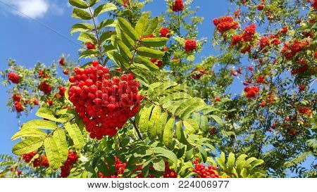 Branches of mountain ash or rowan with bright red berries against a clear blue sky background