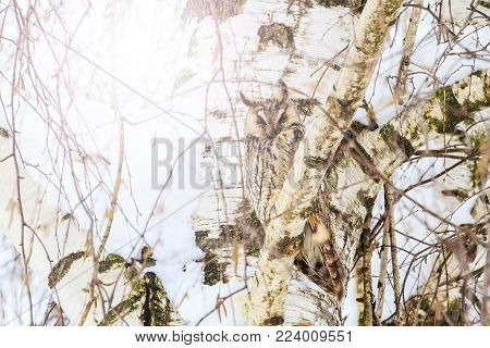 mimicry owl on the background of birch on sunny day , birds, wildlife, animals