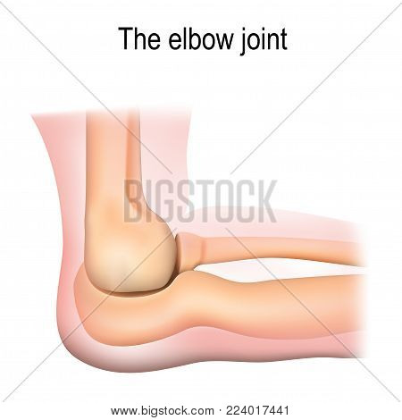 Human elbow joint anatomy. Vector diagram for medical use