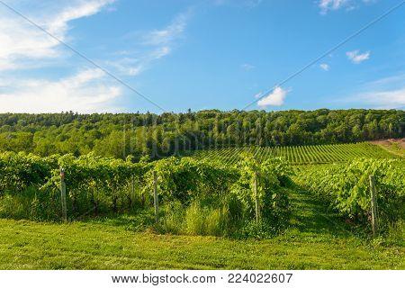 Beautiful rows of grapes before harvesting (Gaspereau Vineyard, Nova Scotia, Canada)