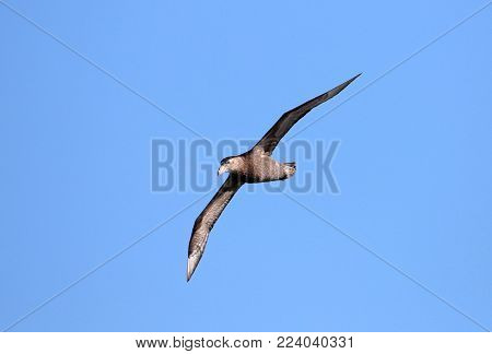 Southern giant petrel, macronectes giganteus, in flight with blue skies of Antarctica