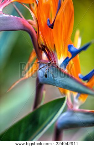 Strelitzia is a genus of five species of perennial plants, native to South Africa. It belongs to the plant family Strelitziaceae.