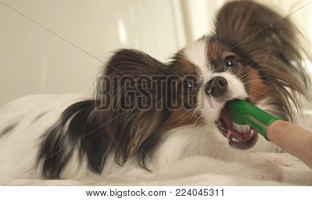 Young dog breeds Papillon Continental Toy Spaniel brushes teeth with a toothbrush