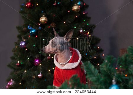 Cute american hairless terrier is sitting in a new year's eve dress near the christmas tree. Pet animals. Traditional holidays.