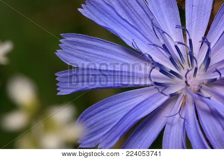 Beautiful chicory flower close up. Live nature. Summer morning.