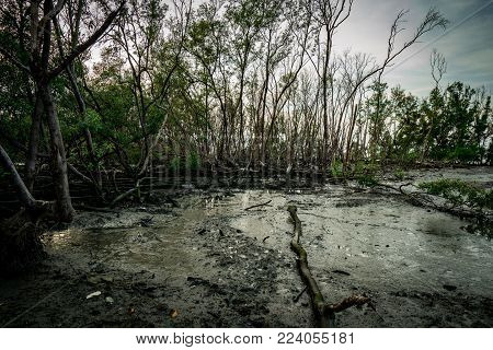 Green leaves of mangrove tree and dead tree in mangrove forest as background with clear white sky. Dark emotional scene.