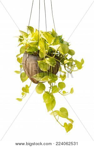 Hanging houseplant in coconut pot for decoration isolated on white background with clipping path