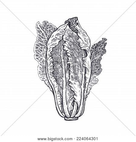 Lettuce romaine. Plant isolated. White and black. Vector illustration. Hand drawing style vintage engraving. Greenery for create the menu, recipes, decorating kitchen items. Vintage.