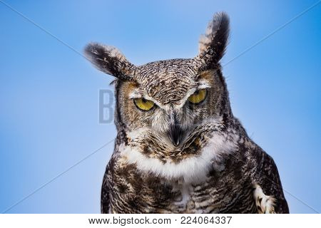 Portrait of a grumpy and upset looking Great Horned Owl (Bubo virginianus) against blue sky background. Copy space.