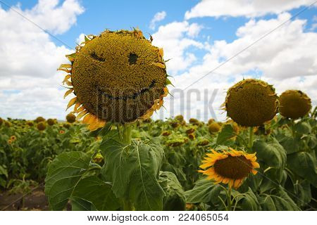 A Smiling and winking sunflower face in a field