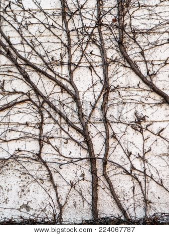 Winter vines against exterior wall background photograph. Bare vines in winter growing vertically up an outside garden wall. Dark tangled vines contrasting with the plain white wall.