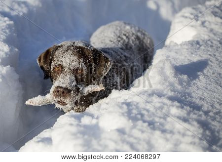 chocolate brown labrador in deep snow. A stick in the teeth. Looks to the distance. Siberia.