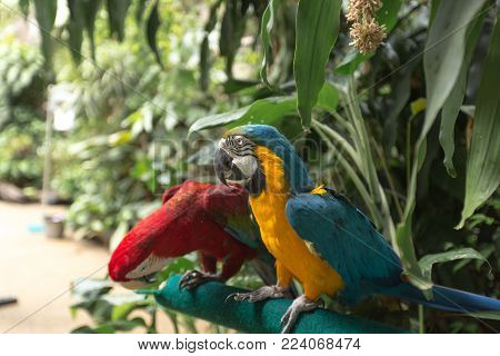 Portrait of colorful scarlet macaw parrot stand on timber in the zoo.