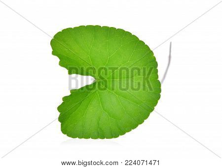 green leaf of centella asiatica, asiatic pennywort,(centella asiatica (linn.) urban.) tropical herb isolated on white background