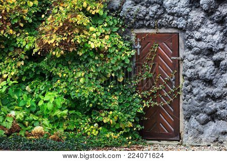 old wooden door in the wall covered with green ivy