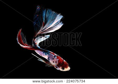 Capture the moving moment of Halfmoon Siamese fighting fish isolated on black background.