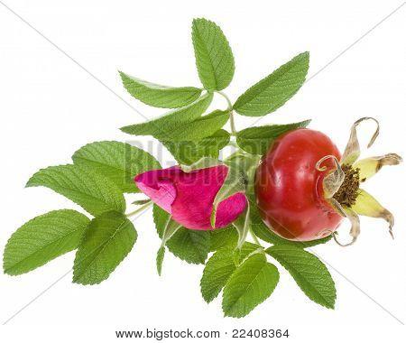 Rose hip, wild rose isolated on white background