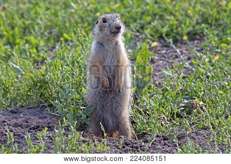 Cute Gopher Sitting On A Green Meadow In Sunny Day