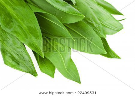 Wild ramson fresh leaves (Alium ursinum)  isolated