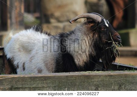 Goat Buck Is Resting And Eating