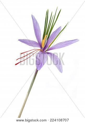 saffron flower isolated  on a white background