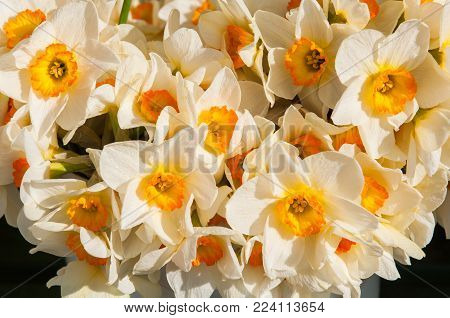 yellow with white daffodils, narcissus bouquet background, spring flowers