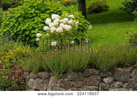 A white peonia (Paeonia officinalis) in a romantic garden in summer