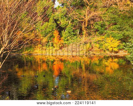 Ducks sleep amongst vibrant pond reflections. Bright colorful green, yellow and orange reflections fill the pond that a group of ducks float on top of peacefully sleeping.