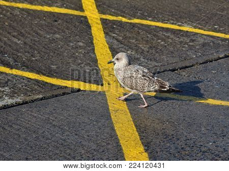 Tentative Young Sea Gull Walking on Yellow Lines