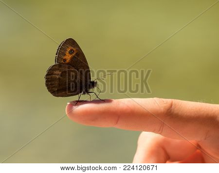 A Scotch Argus (Erebia aethiops) sitting on a finger of a child