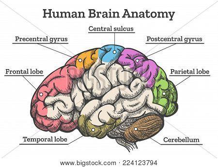 Human brain anatomy diagram. Sections of head brain vector illustration