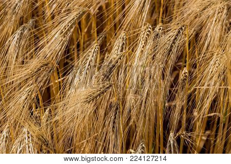 barley field before the harvest