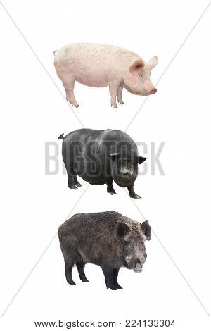 big pigs isolated  a on white background