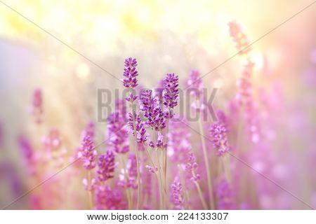 Soft focus on lavender flower, lavender flowers lit by sunlight