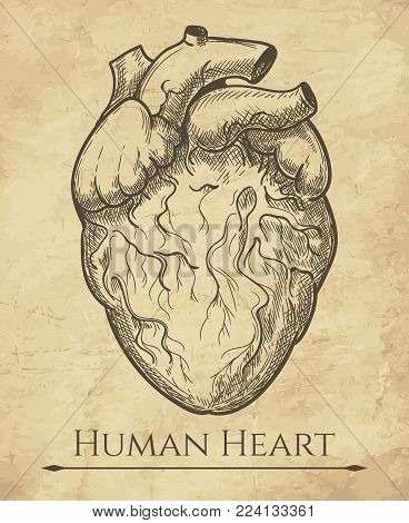 Human heart sketch. Anatomical heart organ etching drawing, medical retro anatomic cardiac muscle engraving vector illustration poster