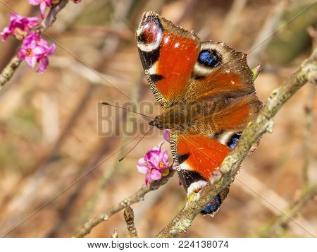 Peacock butterfly perched on a bush branch with purple blossoms